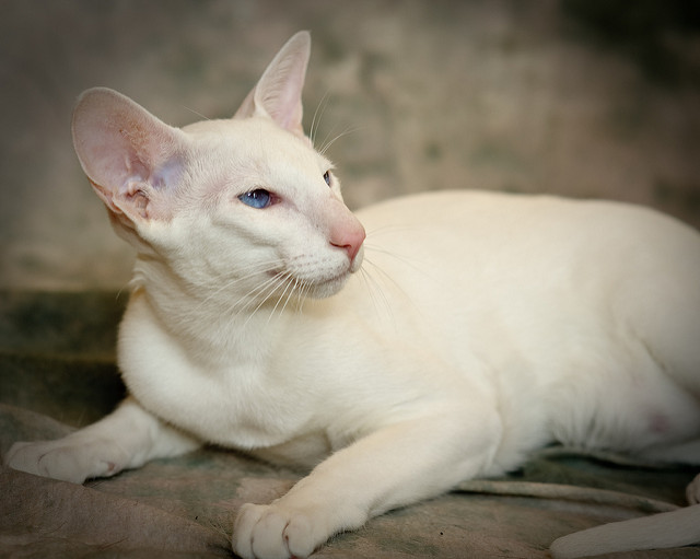pisica orientala -rase de pisici